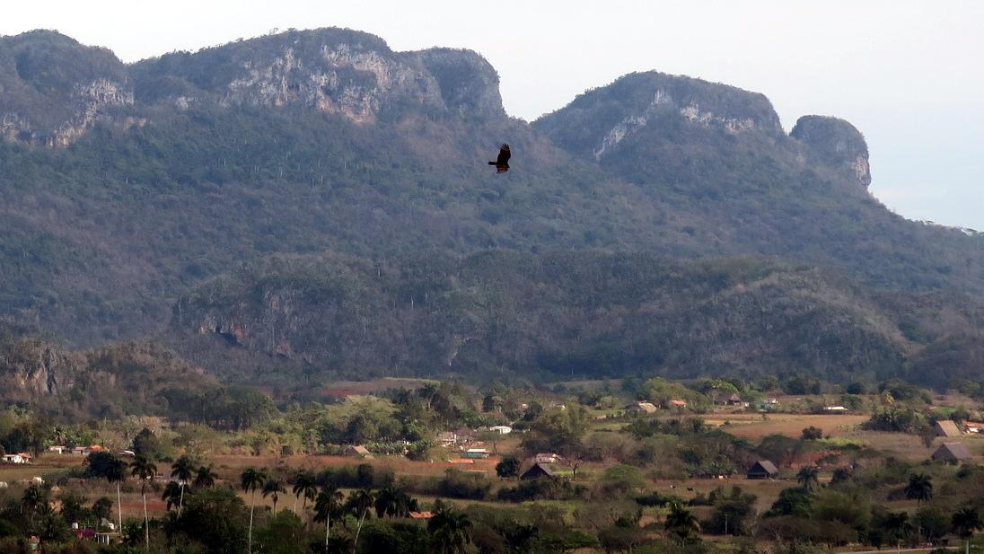Tiñosa sobre valle de Viñales.